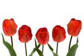 Five red tulips — Stock Photo
