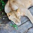 Napping Lioness - Stock Photo