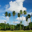Coconut Palm Tree field - Stock Photo