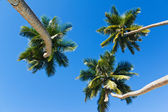 Three palm trees and a blue sky — Stock Photo