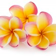 Frangipani, Plumiera, Frangipanni — Stock Photo