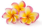 素馨花,plumiera,素馨花香水的味道 — 图库照片