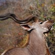 Royalty-Free Stock Photo: Kudu browsing