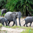 Elephants in dry riverbed - Stock Photo