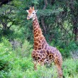 Giraffe in bush - Stock Photo