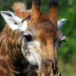 Giraffe Browsing - Stock Photo