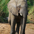 Elephant alongside river - Stock Photo