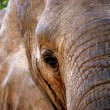 Elephant close-up - Stock Photo