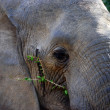 Elephant  chewing - Stock Photo