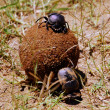 Dung Beetles — Stock Photo