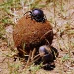 Dung Beetles — Stock Photo #5895507