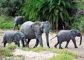 Elephants in dry riverbed — Stock Photo