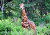 Giraffe in bush — Stock Photo