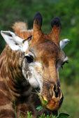 Giraffe Browsing — Stock Photo
