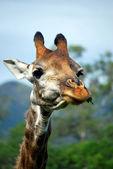 Giraffe chewing — Stock Photo