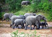 Elephants in river — Stock Photo