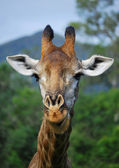 Giraffe head in bush — Stock Photo