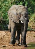 Elephant alongside river — Stock Photo