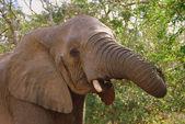 Elephant face — Stock Photo
