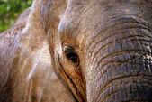 Elephant close-up — Stock Photo