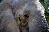 Elephant chewing — Stock Photo