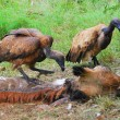 Vultures on giraffe kill — Stock Photo