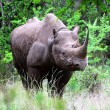 Royalty-Free Stock Photo: Black Rhino 2