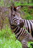 Zebra pastva — Stock fotografie