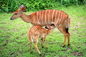 Baby Nyala feeding — Stock Photo