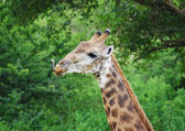 Giraffe with tongue out — Stock Photo