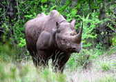 Black Rhino 2 — Stock Photo