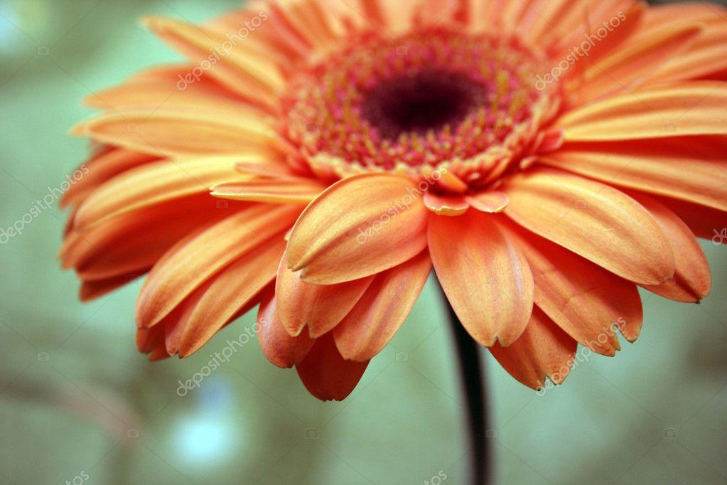 гербер цветок фото