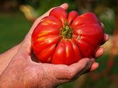 Domestic tomato — Stock Photo