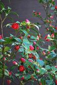 Camellia bud — Stock Photo