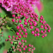 Little pink flowers — Stock Photo