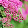 Stock Photo: Little pink flowers
