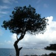 Stock Photo: Solitary tree by the sea