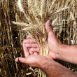 Manr's hands holding wheat ears — Stock Photo