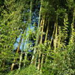 Bamboo forest — Stock Photo #5989036
