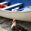 Duck and boat — Stock Photo