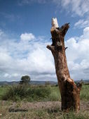 Bole of a dead tree — Stock Photo