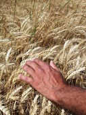 Man's hands and wheat ears — Stock Photo