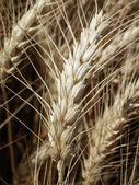 Wheat ear — Stockfoto
