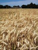 Pole pszenica złoto — Zdjęcie stockowe