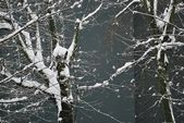 Snow covered branches of tree — Stock Photo