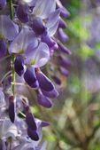 Wisteria flowers detail — Stock Photo
