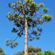 Maritime pine tree — Stock Photo