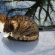 Royalty-Free Stock Photo: Cat on the car