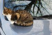 Kot w samochodzie — Zdjęcie stockowe