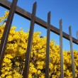 Forsythia behind the fence — Stock Photo
